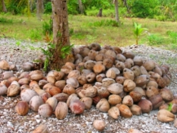 Coconuts Ready To Be Processed