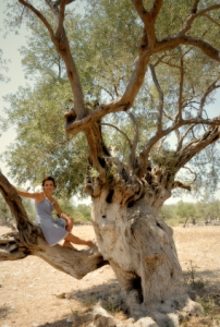 A mature olive tree with a gnarled and twisted trunk.