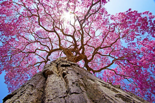 Pau d'Arco tree